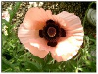 Image of a pink poppy